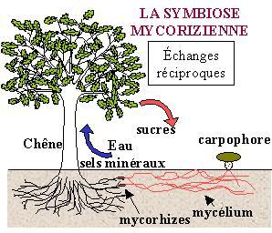 Les Cèpes Symbiose